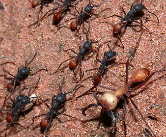 An ant army is moving