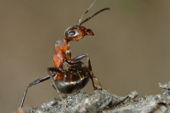 A red ant in firing position