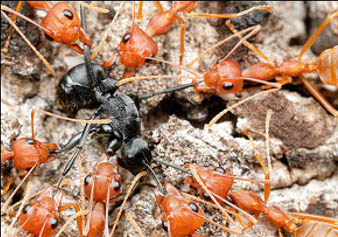 A black ant surrounded by red ants