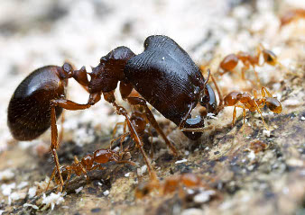 A soldier ant with a huge head.